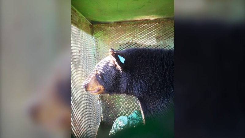 Dwight the bear released back into the wild in northeastern Ontario after spending a year at a bear habitat. (Timmins Police Service)