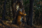 Sergey Gorshkov <br><br> Winner 2020, Animals in their Environment, GRAND TITLE WINNER<br><br> With an expression of sheer ecstasy, a tigress hugs an ancient Manchurian fir, rubbing her cheek against bark to leave secretions from her scent glands. She is an Amur, or Siberian, tiger, here in the Land of the Leopard National Park, in the Russian Far East.  The race – now regarded as the same subspecies as the Bengal tiger – is found only in this region, with a small number surviving over the border in China and possibly a few in North Korea. Hunted almost to extinction in the past century, the population is still threatened by poaching and logging, which also impacts their prey – mostly deer and wild boar, which are also hunted. But recent (unpublished) camera-trap surveys indicate that greater protection may have resulted in a population of possibly 500–600 – an increase that it is hoped a future formal census may confirm. Low prey densities mean that tiger territories are huge. Sergey knew his chances were slim but was determined to take a picture of the totem animal of his Siberian homeland. Scouring the forest for signs, focusing on trees along regular routes where tigers might have left messages – scent, hairs, urine or scratch marks – he installed his first proper camera trap in January 2019, opposite this grand fir. But it was not until November that he achieved the picture he had planned for, of a magnificent tigress in her Siberian forest environment.  <br><br>Wildlife Photographer of the Year is developed and produced by the Natural History Museum, London  <br><br>Wildlife Photographer of the Year exhibition is on at the Royal Ontario Museum, Toronto, from Nov. 21 to May. 2