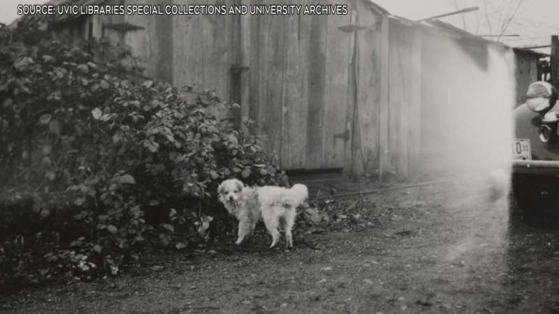 A now extinct B.C. woolly dog breed is shown: (UVic Libraries Special Collections and University Archives)