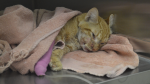 Gulliver the cat is recovering at the Ottawa Humane Society after being found with a gunshot wound last week. (Photo courtesy: Ottawa Humane Society)