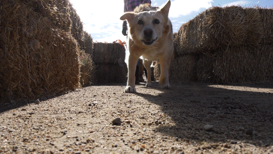 Crossmount Cider hosted a bale maze for dogs Saturday in support of New Hope Dog Rescue. (Chad Leroux/CTV Saskatoon)