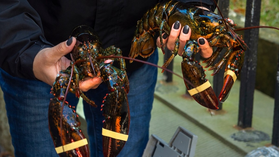 A woman holds two lobsters as Cheryl Maloney, a member of the Sipekne'katik First Nation, sells them outside the Nova Scotia legislature in Halifax on Oct. 16, 2020. (Andrew Vaughan / THE CANADIAN PRESS)