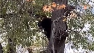 Black bear gives performance hanging from a tree