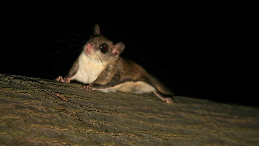 Flying squirrel trafficking ring busted by Florida wildlife officials
