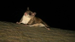 A flying squirrel is seen in a tree in this file photo. (laszlo-photo / Creative Commons)