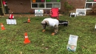 Mr. Push-Ups, Randy Beal, of Barrie, Ont., completes 45,000 push-ups to raise money and awareness for mental health on Mon., Oct. 19, 2020. (Jim Holmes/CTV News)