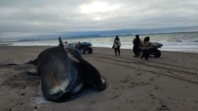 A dead bowhead whale carcass is shown on a beach roughly 60 kilometres outside Kugaaruk, Nunavut in a handout photo. (THE CANADIAN PRES/HO-Rene Kukkuvak MANDATORY CREDIT)