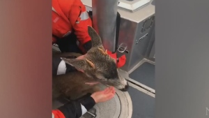 Deer in distress rescued off Alaska coast