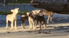 A viral video of B.C. coastal wolf puppies howling together is being used to support conservation efforts that oppose trophy hunting of the species: (Cristina Mittermeier / SeaLegacy)