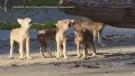 Wolf pups become B.C. conservation ambassadors