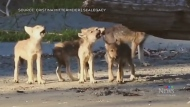Wolf pups become B.C. conservation ambassadors