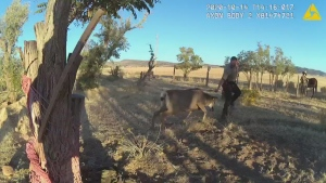 A wildlife officer wrestled a deer after the animal charged at him while being untangled from a hammock.
