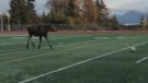 Moose disrupts game of soccer, turns out it just w