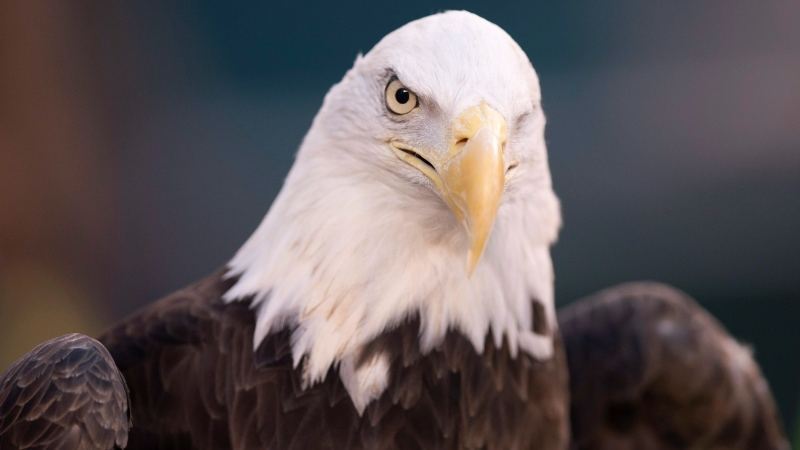 This Jan. 5, 2020, file photo shows a bald eagle in Philadelphia.  (AP / Chris Szagola)