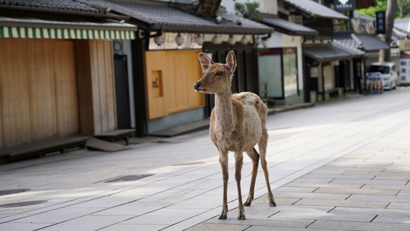 Nara is home to around 1,000 free-roaming deer. (Jinhee Lee/SOPA Images/LightRocket/Getty Images via CNN)