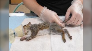 The BC SPCA caring for a group of squirrels injured after their tails became stuck in tree sap. (BC SPCA)