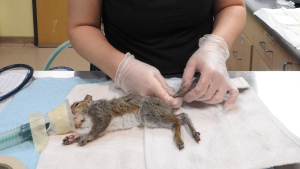 The BC SPCA's Wildlife Animal Rehabilitation Centre (Wild ARC) in Metchosin says five Eastern Grey Squirrels were brought to the centre with their tails entwined in sap that had apparently melted during a recent heat wave and later solidified.