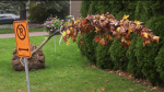 An elderly woman in Ile Bizard asked the municipality not to plant a tree on her property, and she wound up with one anyway.