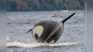Southern resident killer whale J-46 is pictured off the coast of Seattle: (Brittany Philbin)