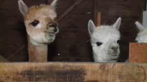 "Continuing on with the ""Ag Week"" series learning about alpacas and uses for their fibre"