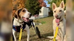 Lucky and Hera, special needs dogs who are inseparable, will tie the knot to raise awareness of pups like them seeking a forever home