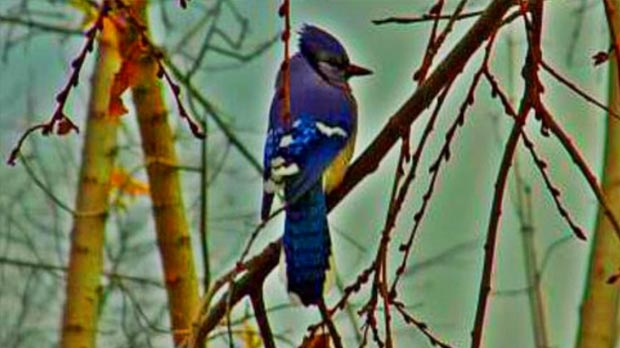 A bluejay visiting Portage la Prairie. Photo by Myrna Nichol.