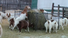 "For the final day of the ""Ag Week"" series, we visit Silver Sage Ranch to talk about goats"