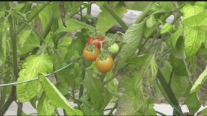 Health officials in Sudbury have changed their minds, meaning community gardens are allowed to donate to food banks. Jaime McKee reports.