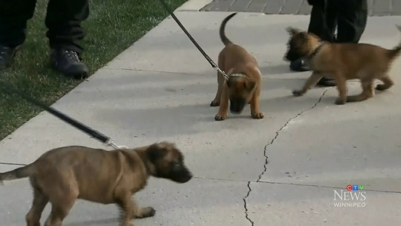 The Winnipeg police K9 unit's newest recruits