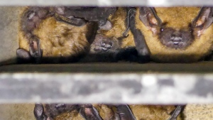 Bats snuggled in a bat box. Photo by J Saremba