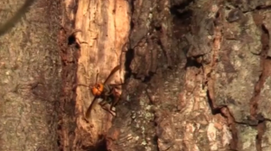 Giant asian hornet discovered in Washington state.
