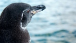 The Galapagos penguin is one of the smallest species of penguins in the world. (AFP)