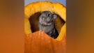 Animals play peek-a-poo from inside pumpkin