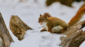 This little guy was eating some of the snow on this log in Kildonan Park. Jennifer Raposo