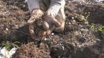 Harvesting potatoes in northern Ontario