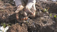 Harvesting potatoes in northern Ontario
