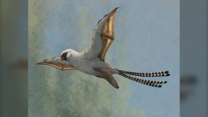 Life reconstruction of the bat-winged scansoriopterygid dinosaur Ambopteryx in a glide. (Gabriel Ugueto)