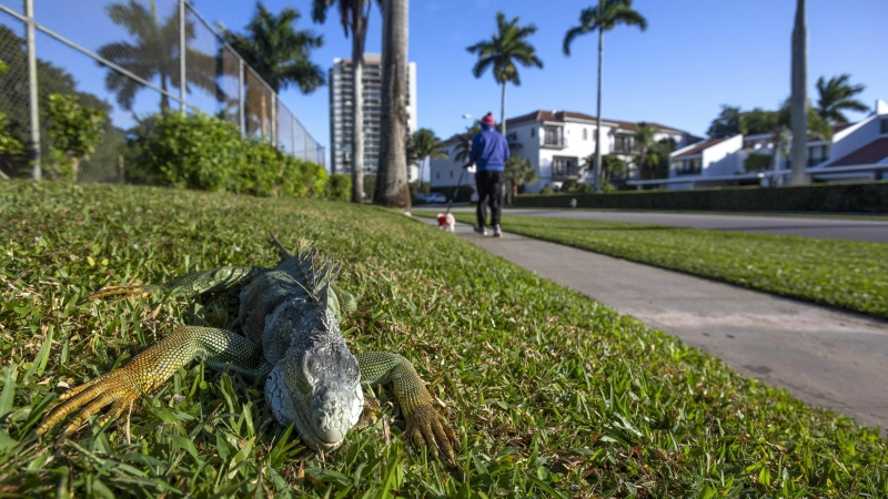 An iguana immobilized from cold temperatures lays on grass in West Palm Beach, Florida, U.S., on Wednesday, Jan. 22, 2020. (Saul Martinez/Bloomberg/Getty Images/CNN)