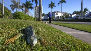 An iguana immobilized from cold temperatures lies on grass in West Palm Beach, Florida, U.S., on Wednesday, Jan. 22, 2020. (Saul Martinez/Bloomberg/Getty Images/CNN)