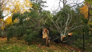A tree snapped after a tornado touched down in Thornbury, Ont. on Oct. 23. (@westernuNTP / Twitter)