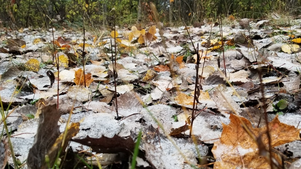 Snowfall on leaves in Kanata on Monday, Oct. 26, 2020. (Photo by Murat Kucuk)