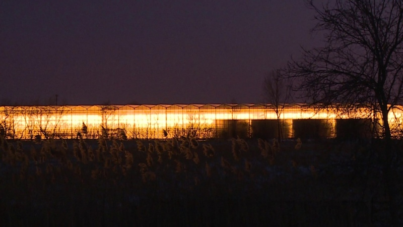 Greenhouse lights in Essex County on Oct. 23, 2020. (Chris Campbell / CTV Windsor)
