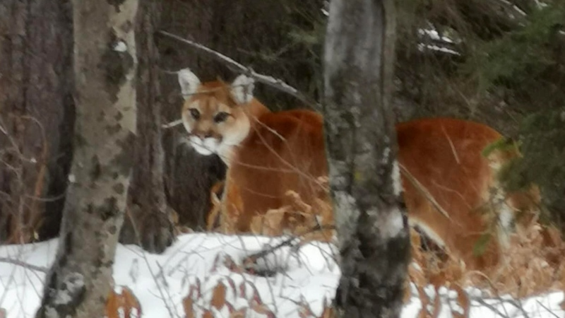 This cougar was spotted at Canmore Nordic Centre Provincial Park. (Canmore Nordic Centre Provincial Park/Facebook)