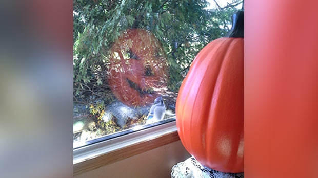 Blue Jay peeking in window at Mr Pumpkin. Photo by Sharian & Karen.