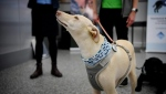 Three dogs, named Kossi, ET and Miina, have sniffed swabs taken from 2,200 passengers in the month since the testing booth was set up at the airport's arrivals hall. (AFP)
