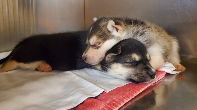 Two puppies are seen at the Iqaluit Humane Society. Organizers are working to raise $1 million in hopes of staying afloat after the city announced that the building they occupy would be destroyed. (Source: Iqaluit Humane Society, Facebook)