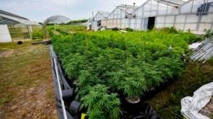 Police seize more than $150 million of illicit cannabis in York Region. (YRP)