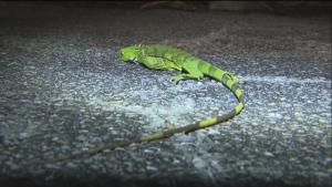 Riskin falling lizards