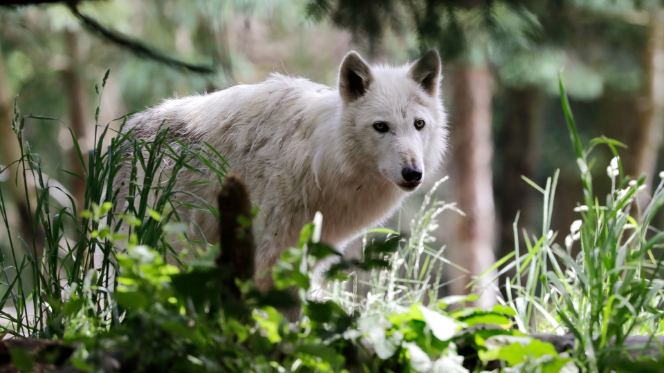 A gray wolf looks out from an exhibit at the Woodland Park Zoo, closed for nearly three months because of the coronavirus outbreak, Tuesday, May 26, 2020, in Seattle. (AP Photo/Elaine Thompson)