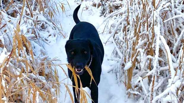 Sadie enjoying the snow yesterday at the Transcona Bioreserve. Photo by Marie Mazur.